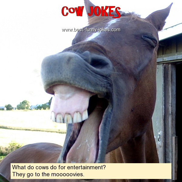 What do cows do for entertainm